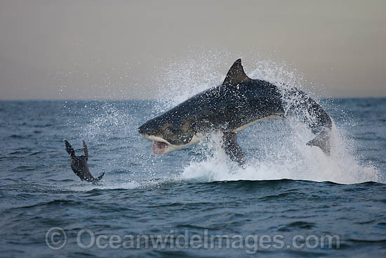 Great White Shark (Carcharodon carcharias) hunting a Cape Fur Seal (Arctocephalus pussilus pussilus). Seal Island, False Bay South Africa. Sequence 4. Photo - Chris & Monique Fallows