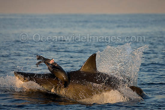Great White Shark (Carcharodon carcharias) hunting a Cape Fur Seal (Arctocephalus pussilus pussilus). Seal Island, False Bay South Africa. Sequence 2. Photo - Chris & Monique Fallows