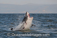 Great White Shark hunting seal Photo - Chris & Monique Fallows