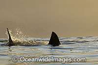Great White Shark hunting seal