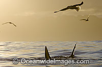 Great White Shark attacking seal Photo - Chris & Monique Fallows