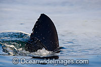 Shark dorsal fin Photo - Chris & Monique Fallows