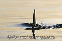 Great White Shark dorsal fin Photo - Chris & Monique Fallows