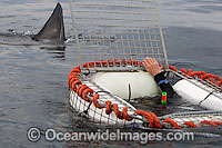 Great White shark cage photo