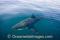 Great White Shark on surface Photo - Chris & Monique Fallows