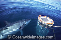 Great White Shark near shark cage Photo - Chris & Monique Fallows