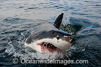 Great White Shark jaws Photo - Chris & Monique Fallows