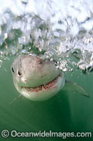 Great White Shark underwater
