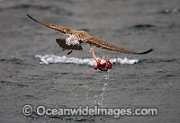 Cape Gull feeding on Seal entrails Photo - Chris & Monique Fallows