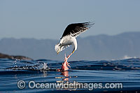 Cape Gull feeding on Seal entrails image