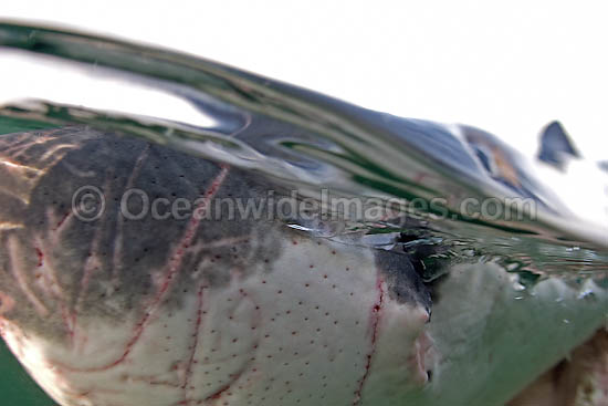 Great White Shark (Carcharodon carcharias) showing close detail of the ampullae of lorenzini - sensory pores. Seal Island, False Bay, South Africa. Protected species. Listed as Vulnerable Species on the IUCN Red List. Photo - Chris & Monique Fallows