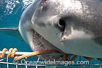 Great White Shark biting cage Photo - Chris & Monique Fallows
