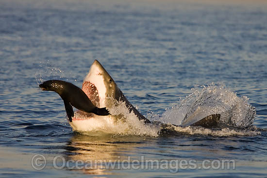 Great White Shark (Carcharodon carcharias) hunting a Cape Fur Seal (Arctocephalus pussilus pussilus). Seal Island, False Bay South Africa