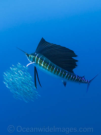Atlantic Sailfish (Istiophorus albicans) feeding on schooling Sardines. Also known as Billfish. Found in the Atlantic Oceans and the Caribbean Sea.