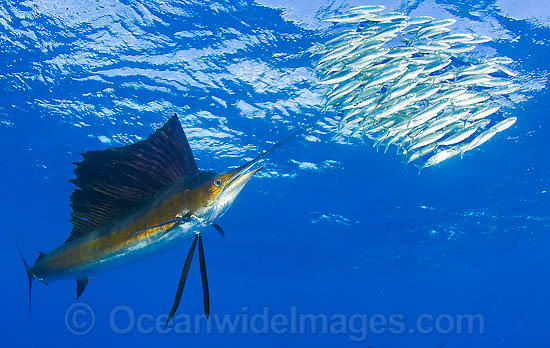Atlantic Sailfish (Istiophorus albicans) feeding on schooling Sardines. Also known as Billfish. Found in the Atlantic Oceans and the Caribbean Sea. Photo - Chris & Monique Fallows