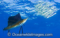Sailfish feeding on schooling sardines
