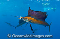 Sailfish feeding on schooling sardines Photo - Chris & Monique Fallows