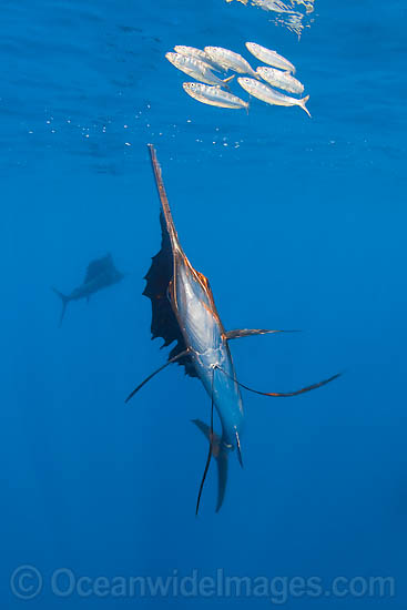 Atlantic Sailfish (Istiophorus albicans) feeding on Sardines. Also known as Billfish. Found in the Atlantic Oceans and the Caribbean Sea.