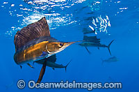 Sailfish feeding on sardines