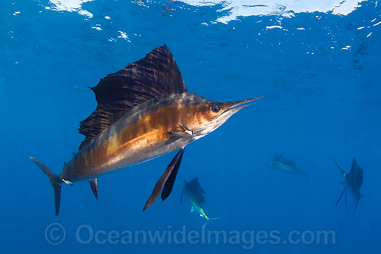 Atlantic Sailfish (Istiophorus albicans). Also known as Billfish. Found in the Atlantic Oceans and the Caribbean Sea.