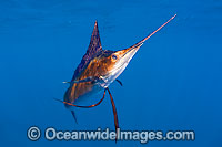 Atlantic Sailfish Istiophorus albicans Photo - Chris & Monique Fallows