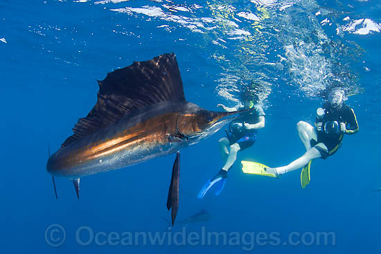 Snorkel divers observing Atlantic Sailfish (Istiophorus albicans) feeding on schooling Sardines at Sardine Run, South Africa. Also known as Billfish. Found in the Atlantic Oceans and the Caribbean Sea.