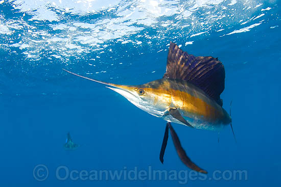 Atlantic Sailfish (Istiophorus albicans) at Sardine Run, South Africa. Also known as Billfish. Found in the Atlantic Oceans and the Caribbean Sea.