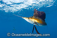 Atlantic Sailfish Photo - Chris & Monique Fallows