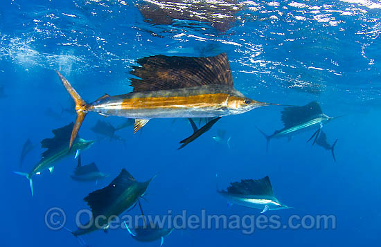 A large aggregation of Atlantic Sailfish (Istiophorus albicans) at Sardine Run, South Africa. Also known as Billfish. Found in the Atlantic Oceans and the Caribbean Sea. Photo - Chris & Monique Fallows