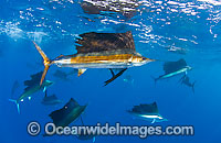 Large group of Sailfish