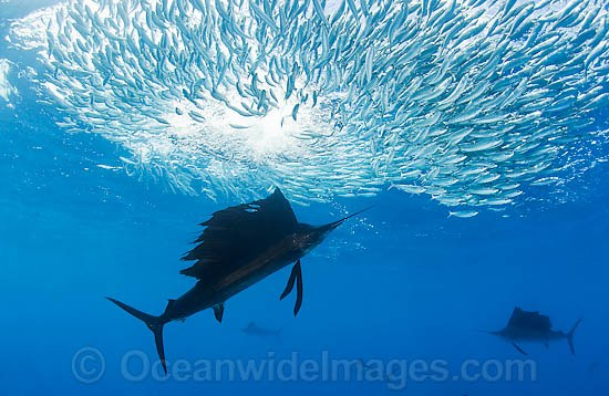 Atlantic Sailfish (Istiophorus albicans) feeding on schooling Sardines at Sardine Run, South Africa. Also known as Billfish. Found in the Atlantic Oceans and the Caribbean Sea.