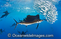 Sailfish feeding on sardines Photo - Chris & Monique Fallows