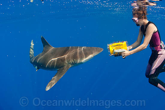 Oceanic Whitetip Shark (Carcharhinus longimanus) and underwater photographer. This oceanic shark is found worldwide in tropical and temperate seas. Photo taken in Mozambique Channel, between the island of Madagascar and southeast Africa, Indian Ocean Photo - Chris & Monique Fallows