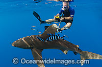 Oceanic Whitetip Shark and Snorkel diver