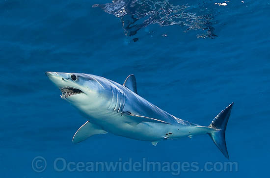 Shortfin Mako Shark photo