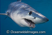 Shortfin Mako Shark Photo - Chris & Monique Fallows