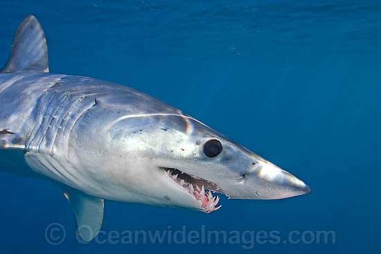 Shortfin Mako Shark (Isurus oxyrinchus). Also known as Mako Shark, Blue Pointer, Mackeral Shark and Snapper Shark. Found in both tropical and temperate seas of the world. Photo taken at Cape Point, South Africa Photo - Chris & Monique Fallows