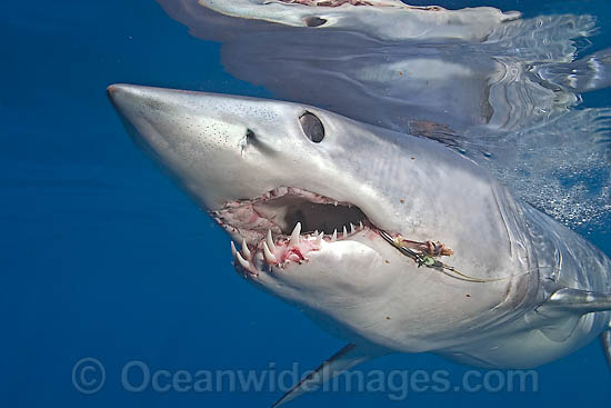 Shortfin Mako Shark (Isurus oxyrinchus) with a fishing hook and line trailing from the mouth. Also known as Mako Shark, Blue Pointer, Mackeral Shark and Snapper Shark. Found in both tropical and temperate seas of the world. Photo Cape Point, South Africa Photo - Chris & Monique Fallows