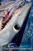 Shortfin Mako Shark Isurus oxyrinchus Photo - Chris & Monique Fallows