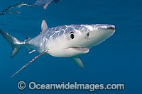 Blue Shark Photo - Chris & Monique Fallows