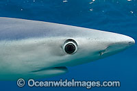 Blue Shark showing eye Photo - Chris & Monique Fallows