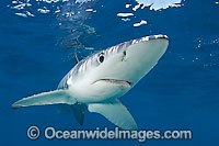 Blue Shark Prionace glauca Photo - Chris & Monique Fallows
