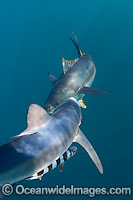 Blue Shark with Yellowfin Tuna Photo - Chris & Monique Fallows