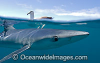 Blue Shark on surface Photo - Chris & Monique Fallows