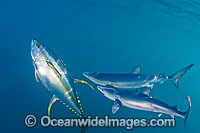 Blue Shark with Yellowfin Tuna