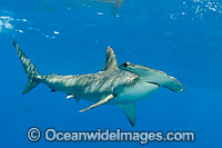Scalloped Hammerhead Shark Photo - Chris & Monique Fallows