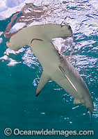Smooth Hammerhead Shark Photo - Chris & Monique Fallows