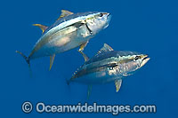 Yellowfin Tuna Thunnus albacares image