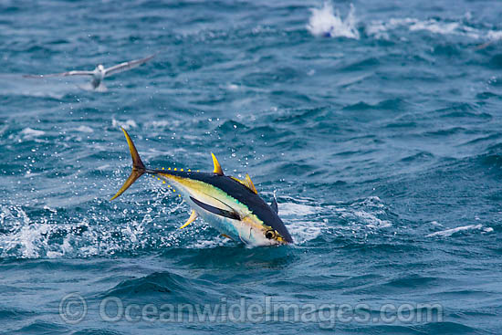 Yellowfin Tuna (Thunnus albacares) leaping out of the surface while feeding on baitfish. Found throughout the world in tropical and temperate seas. A commercially sought after fish.