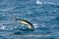 Yellowfin Tuna Thunnus albacares Photo - Chris & Monique Fallows